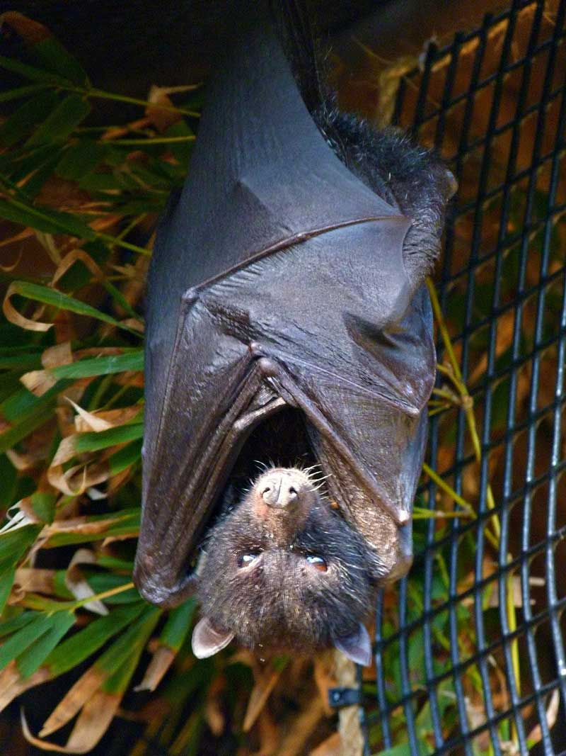 Fruit-Bat.jpg